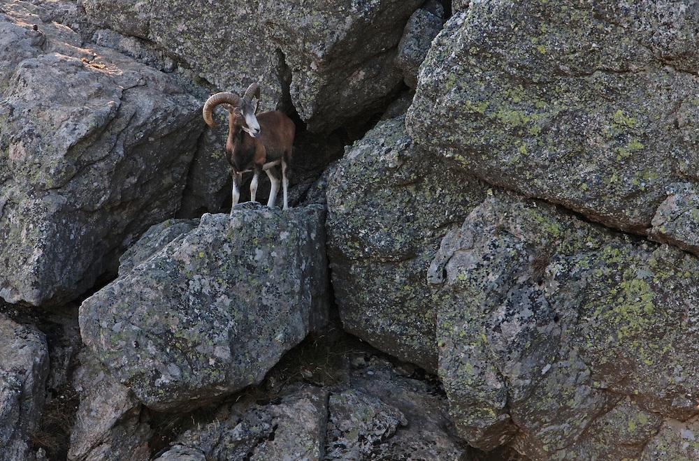 Mouflon/Ovis musimon/male/Parc naturel regional du Haut-Languedoc/Caroux/France