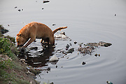 A stray dog is eating a carcass on a bank of the heavily polluted and semi-dry Yamuna River next to the Taj Mahal, in Agra.