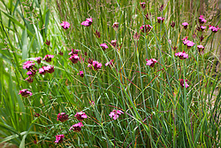 Dianthus carthusianorum amongst grasses in the border behind the Barn at Manor farm House. Carthusian Pink