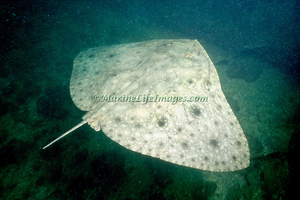 Smooth Butterfly Ray inhabit inhabit sand and rubble areas, expecially in bays and inlets in New England States to Florida, Gulf of Mexico and Caribbean to Brazil; picture taken Ft. Pierce, FL.