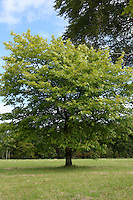 Maple tree in Ireland