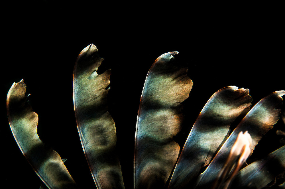 The dorsal spines of a lionfish, Pterois volitans, are extremely sharp and can inject venom if handled incorrectly. While a fairly minor concern individually, together the invasive species is spreading virus-like throughout the Caribbean wreaking havoc to coral reef ecosystems.