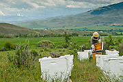 This landscape offers bees a varity of flavors for its honey. Here a beekeeper, Dan Mudd of Salmon Valley Honey inspects hives.