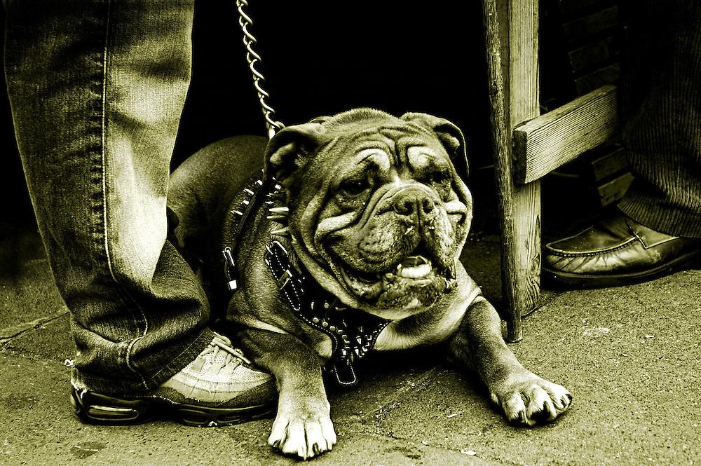A British bulldog on a lead