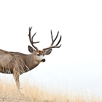 mule deer buck traveling profile side vew