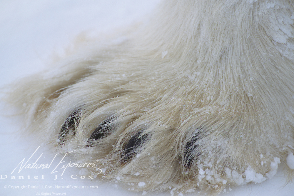 Polar Bear close up of paws. Hudson Bay, Canada