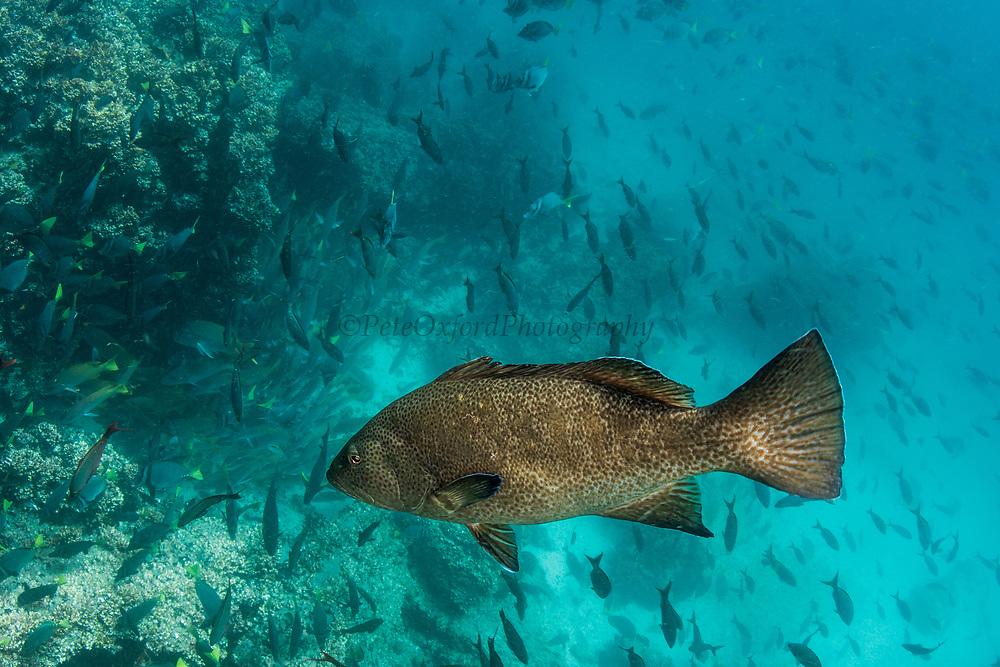 Bacalao Grouper (Mycteroperca olfax)<br /> Punta Moreno, Isabela Island<br /> Galapagos<br /> Ecuador, South America<br /> IUCN STATUS; Vulnerable