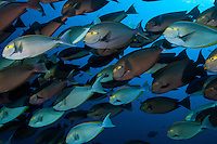 Schooling Surgeonfishes nearly block out the view to the ocean's surface<br /> <br /> Shot in Indonesia