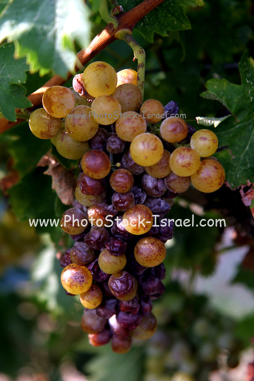 Vineyard, Close up of a cluster of ripe grapes