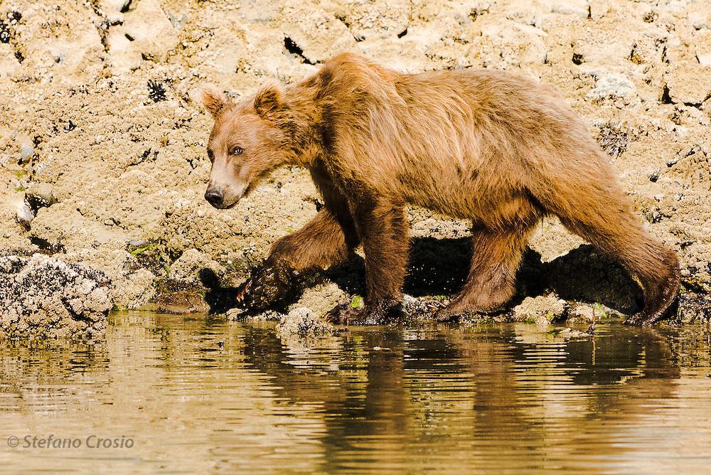 USA, Katmai National Park (AK).Young brown bear (Ursus arctos)