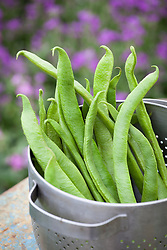 Picked runner beans in a colander. Phaseolus coccineus