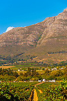 Vineyards at harvest time, Kleine Zalze Wines , Stellenbosch, Cape Winelands, South Africa.