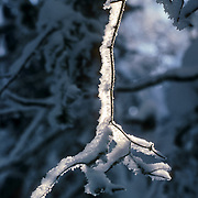 Backlit, fresh snow on a small branch