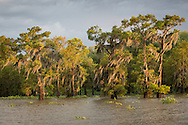 Moss on live oak trees on the banks of Flat Lake, part of Lousiana's wetlands