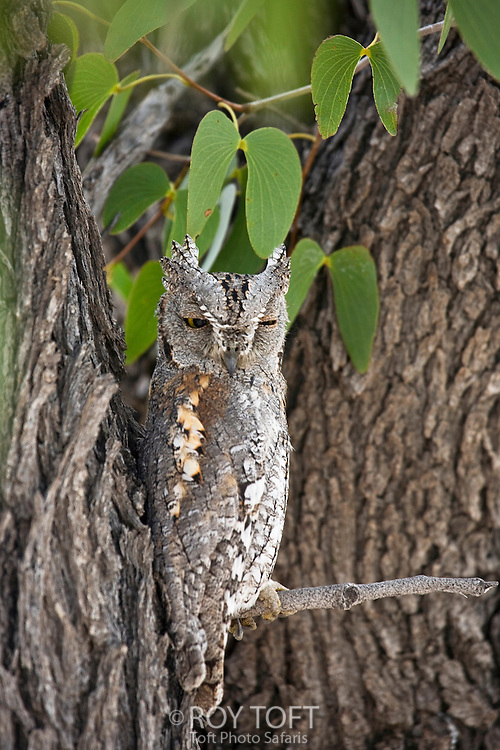 A Scops Owl resting on a tree branch during the day.