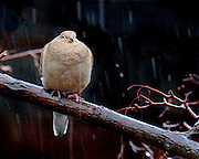 A mourning dove in a very heavy rain.