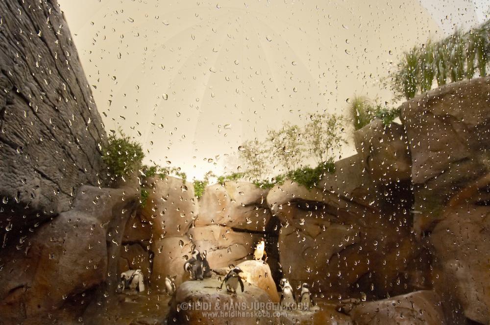 "USA, Vereinigte Staaten Von Amerika: Georgia Aquarium, zur Zeit das groesste Aquarium der Welt, Pinguineanlage in Galerie ""Cold Water Quest"", Brillenpinguine (Spheniscus demersus) stehen auf den Felsen, Atlanta, Georgia | USA, United States Of America: Georgia Aquarium, at the moment the largest aquarium of the world, penguin are, gallery ""Cold Water Quest"", Jackass Penguin (Spheniscus demersus) on rocks, Atlanta, Georgia |"