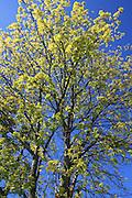 lønn, tre i blomst. Foto: Bente Haarstad Norwegian forest and different trees. Lønn, Acer L.