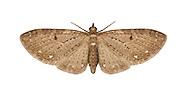 70.160 (1835)<br /> White-spotted Pug - Eupithecia tripunctaria
