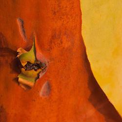 Madrona Tree (Arbutus menziesii) Close-up, San Juan Island, Washington, US