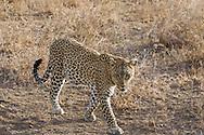 Leopard in East African habitat