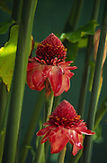 Torch Ginger<br />