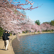 A photographer takes a photo of the famous cherry blossom trees around the Tidal Basin in Washington DC. The flowering of nearly 1700 cherry blossoms around the Tidal Basin, some of which are over a century old, is an annual event in Washington's spring and brings hundreds of thousands of tourists to the city.