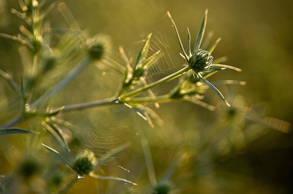 Field eryngo  (Eryngium campestre L.) Hortobagy National Park, Hungary