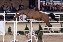 028, Quattro DV<br /> Hengstenkeuring BWP - Lier 2019<br /> © Hippo Foto - Dirk Caremans<br /> 18/01/2019