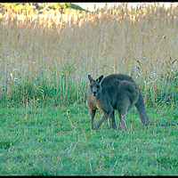 Eastern Grey Kangaroo (Macropus giganteus) is a marsupial found in southern and eastern Australia,