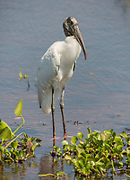 A wood stork, Mycteria americana, standing in shallow water along the Trans-Pantanal Highway in Brazil.