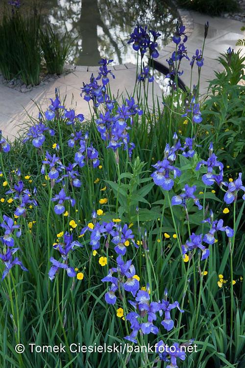 Iris sibirica and Buttercups.