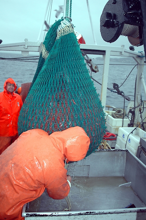 The catch of the day on a prawn trawler. Mostly Deep Water Shrimps  (Pandalus borealis). Location : Norway