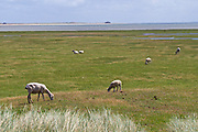 Sylt, Germany. Ellenbogen, the Northern tip of the island. Heidschnucken (sheep).