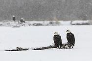 Bald Eagles (Haliaeetus leucocephalus) perched on log along the Chilkat River in the Chilkat Bald Eagle Preserve in Southeast Alaska. Winter. Morning.