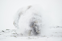 A large bull Musk Oxen, Ovibos moschatus, is shaking his giant body after getting totally snowed in while a blizzard whipes across Dovrefjell NP, Norway.