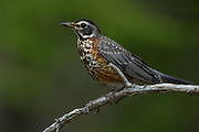 American Robin Fledgling, Bass Harbor, Maine