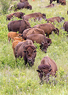 American Bison (Buffalo) in habitat