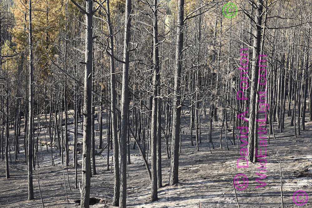 Dense stand of ponderosa pine completely burned and killed by the Cajete Fire, with ash and scorched earth, © 2017 David A. Ponton