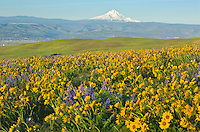 WA13109-00...WASHINGTON - The balsamroot and lupine covered meadows of Dalles Mountain Ranch located in view of Mount Hood while overlooking the Columbia River in the Columbia Hills State Park.