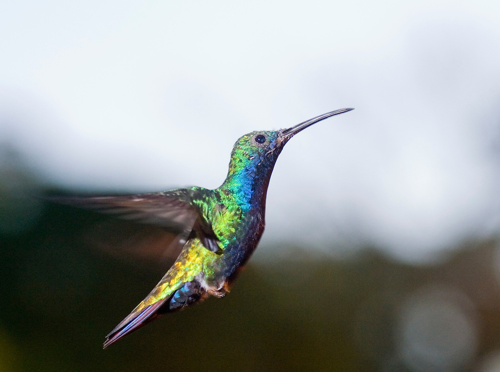 A hummingbird in flight in Serra Bonita, Bahia, Brazil