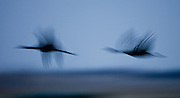 Sandhill Cranes over the Platte River in Nebraska during their annual migration north.