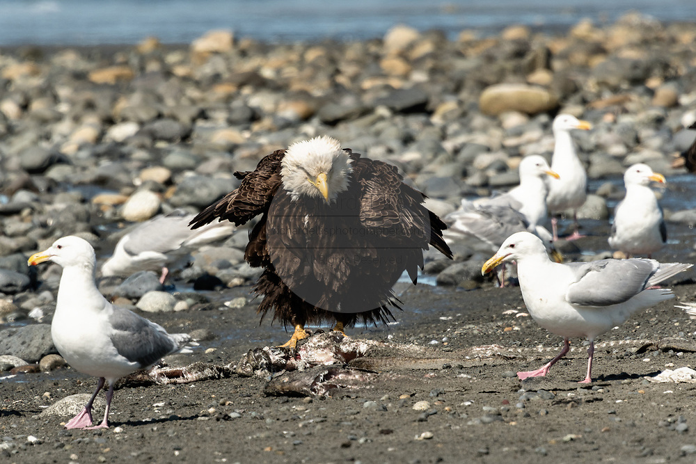 An adult bald eagle guards a pile of fish scraps from gulls on the beach at Anchor Point, Alaska.