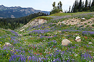 Wildflowers (mostly Lupines, Magenta Paintbrush and Alpine Asters) along the Naches Peak Loop Trail near Mount Rainier National Park in Washington State, USA.  This half of the loop is just outside of the park boundaries, but the return part of the loop is within Mount Rainier National Park, so I included it as part of the park regardless.