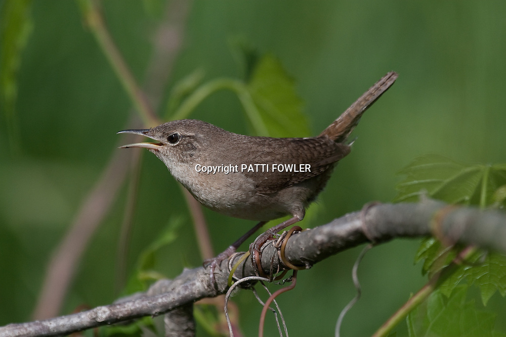 house wren singing on branch