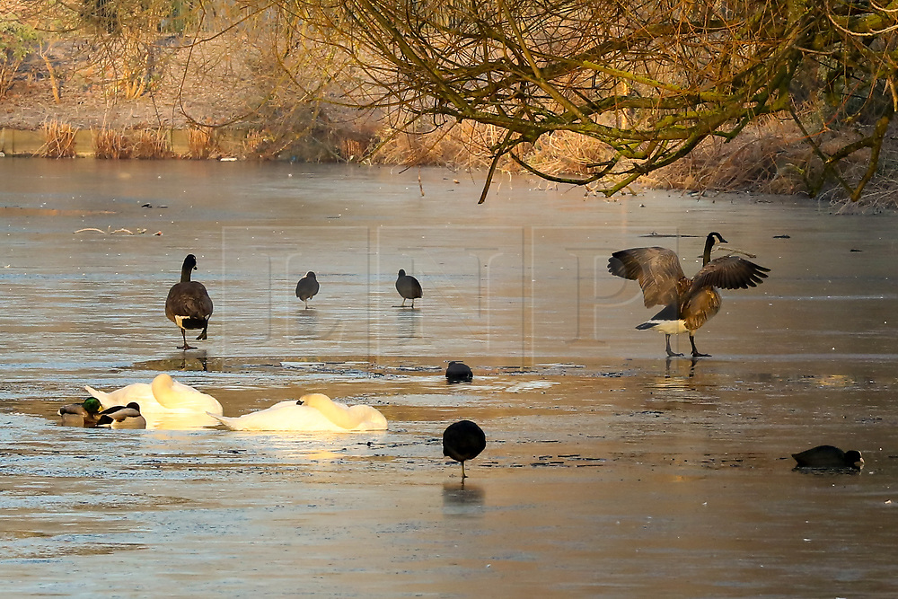 © Licensed to London News Pictures. 31/01/2019. London, UK. Swans and ducks on frozen pond in Finsbury Park, north London following the coldest night this winter. Photo credit: Dinendra Haria/LNP