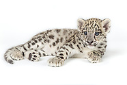 Snow Leopard Conservancy Fundraiser