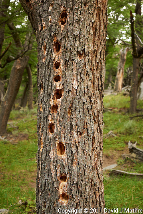 If a Tree in Patagonia is Attacked by a Magellanic Woodpecker Did Anyone Hear It? Hike from Hosteria El Pilar in El Chalten to El Mirador and Laguna Torre. Image taken with a Nikon D3x and 50 mm f/1.4G lens (ISO 100, 50 mm, f/4, 1/50 sec).