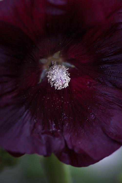 Alcea rosea 'Black Knight' - hollyhock
