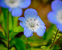 Baby Blue Eyes flower. Image taken with a Fuji X-T3 camera and 80 mm f/2.8 macro lens (ISO 320, 80 mm, f/2.8, 1/3800 sec).